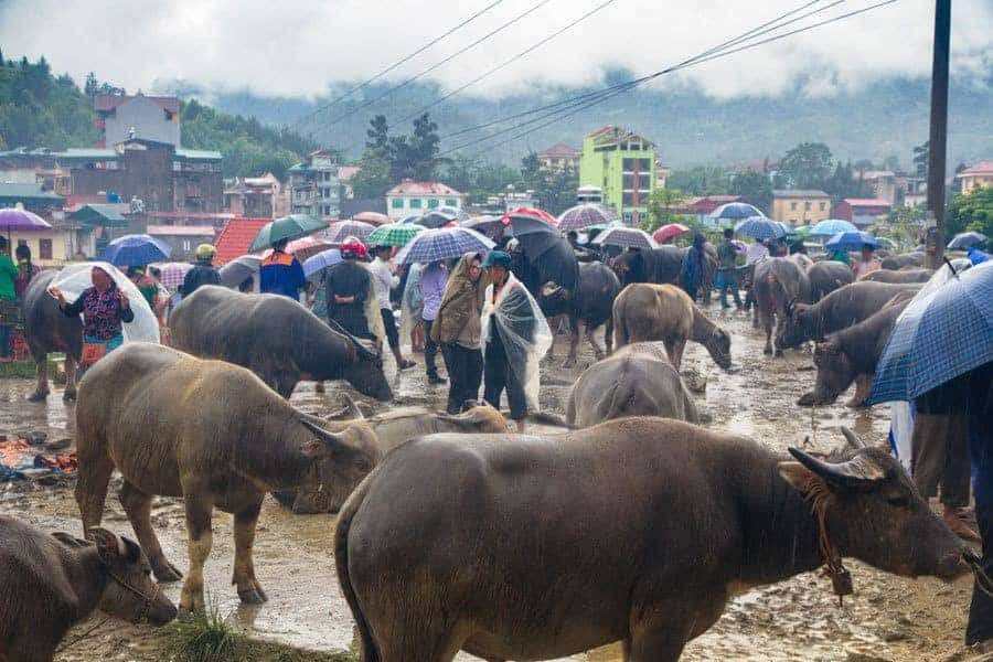 Buffalos at Bac Ha Market (the Animal Section), Sapa, Vietnam.