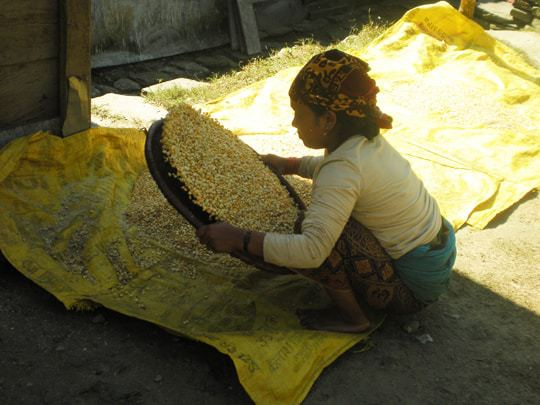 Traditional Rice Production in Nepal