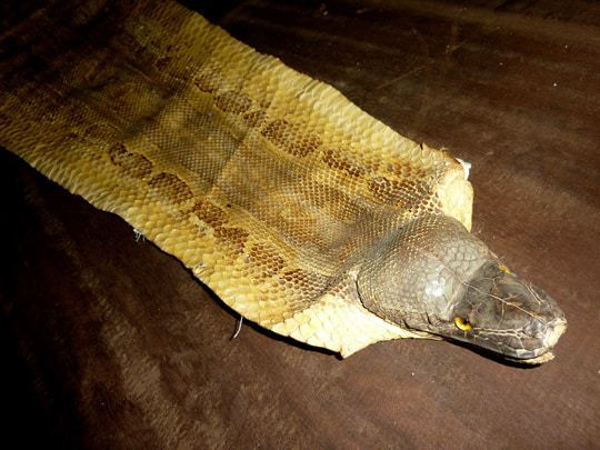 A snake skin used as a table runner in Duchanee's Black House in Chiang Rai