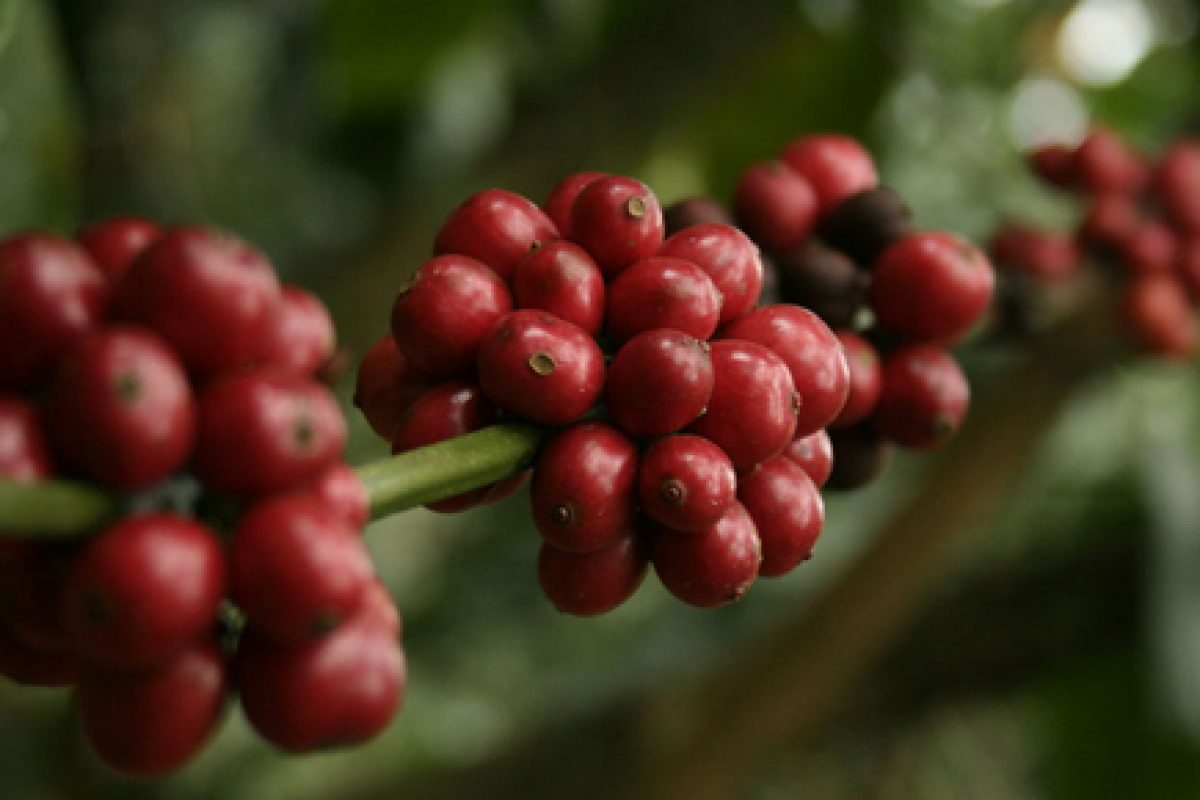 Joma Fair Trade Coffee: Helping Communities & The Environment in Laos