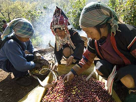Ethnic Akha coffee pickers sort through coffee berries amongst coffee trees to remove leaves and sticks before bringing them to be processed. Doi Chang, Thailand