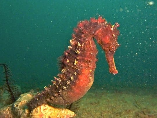 Seahorse Puerto Galera