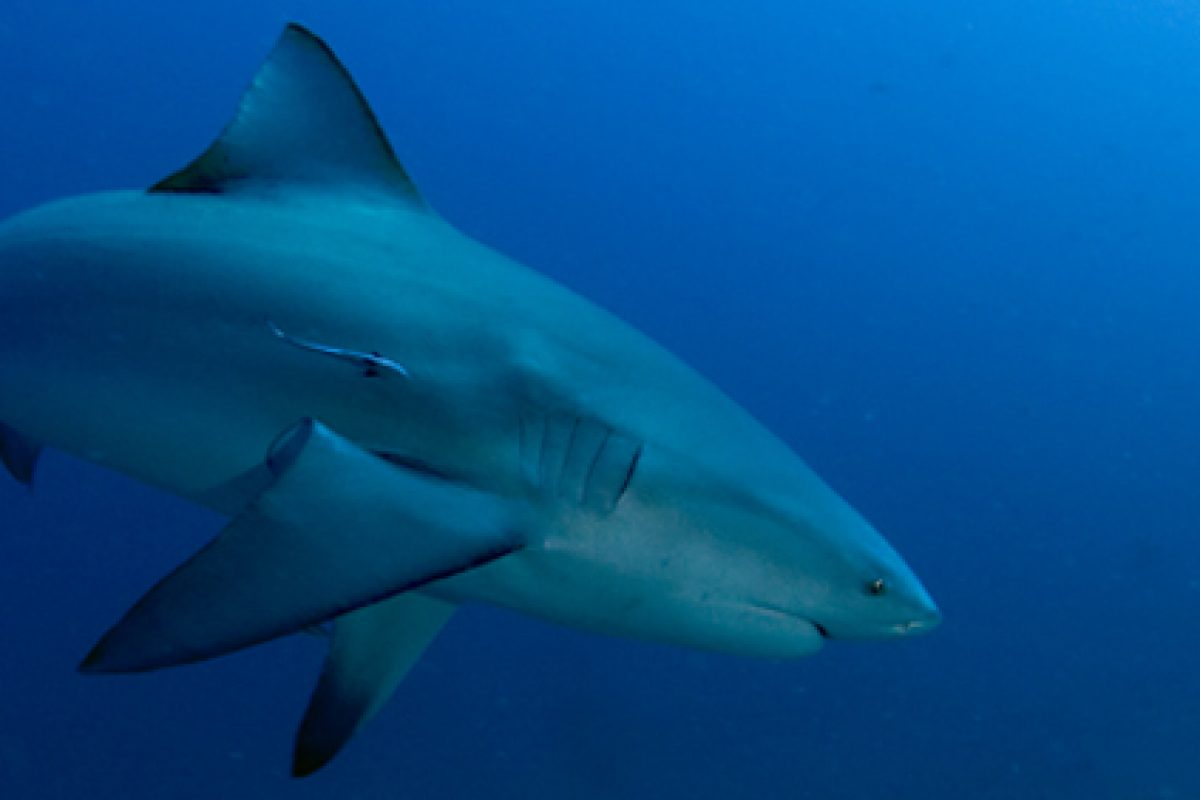 Why You Should Never Eat Shark Fin Soup.