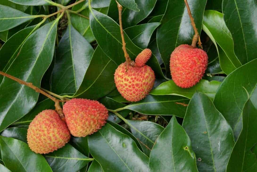 Lychees growing in China.