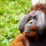 Hanging out in the Borneo Rainforest: The Heart2Heart Orangutan Program
