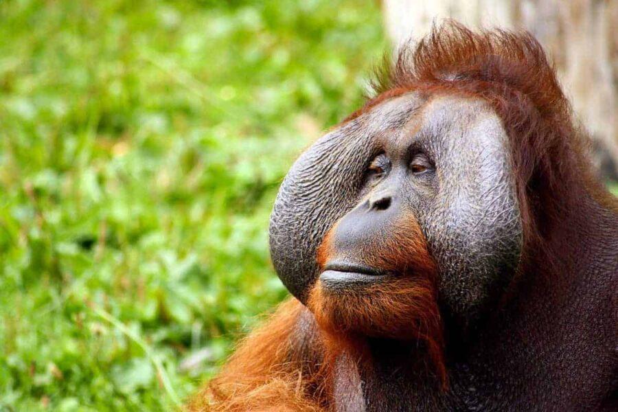 Orangutan at Semengohh Orangtuan Sanctuary, Sarawak