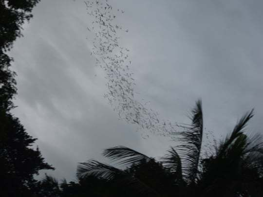 Bats or birds? Battambang