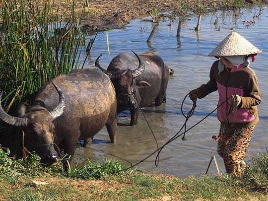 Local Vietnamese woman on the Mekong Delta herding buffalo.