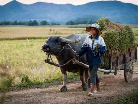 A girl leads a buffalo pulling a cart full of grass in Phong Nha Ke Bang National Park