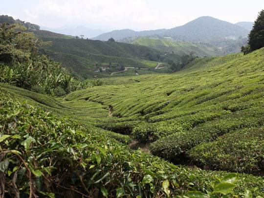 Green Valley in Cameron Highlands