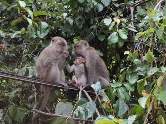 Monkeys Pulau Pangkor