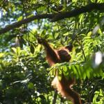 Heart2Heart Orangutan Program