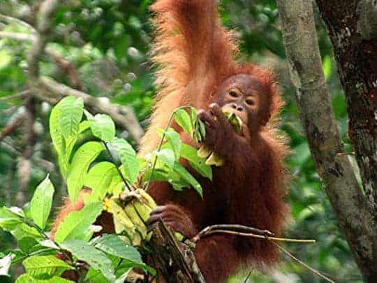 Orangutan in SEPILOK (SABAH) Sandakan, Sepilok, Kinabatangan