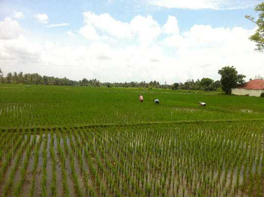 6. rice fields