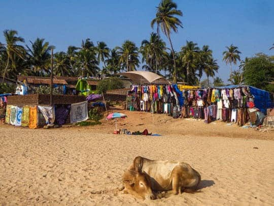 A Cow Laying on the Beach in Anjuna, Goa