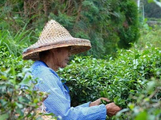 r Tea picker at Maokong mountain Taiwan