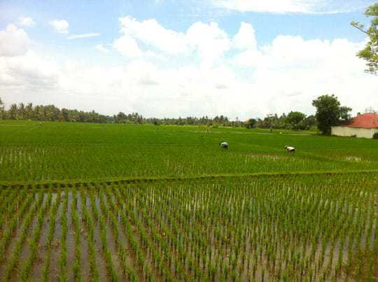 rice fields Cambodia