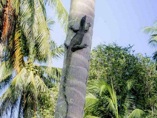 Lizard KPG