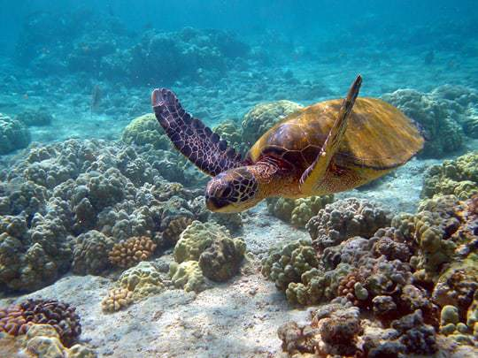 A Turtle Photographed by the Tubbataha Reefs