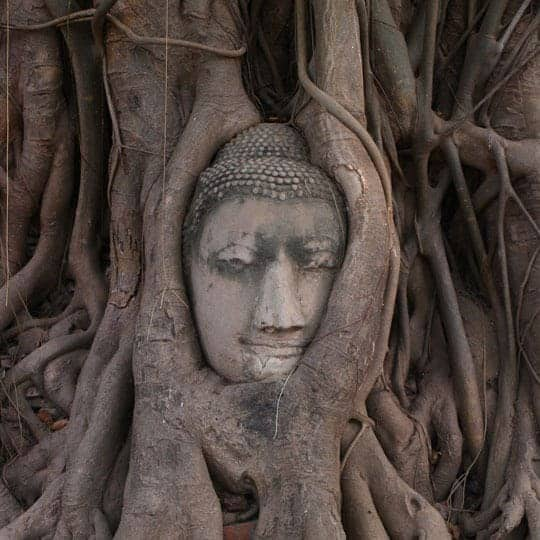 Sukhothai Vs Ayutthaya Buddha's head entwined in the roots of a bodhi tree at Wat Mahathat, Ayutthaya.