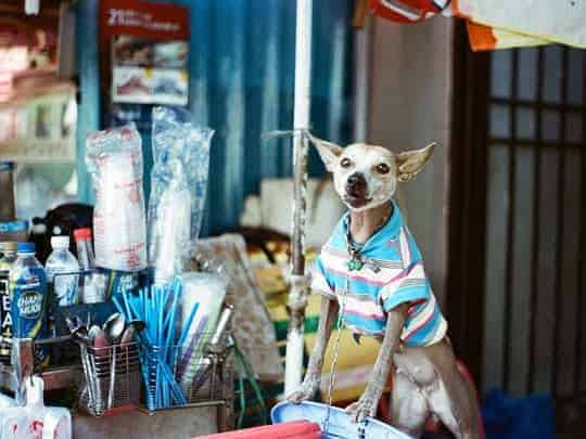 Dog in a t-shirt. Analog photography