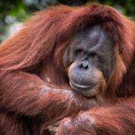 Bukit Lawang (Trekking with the Orangutans)