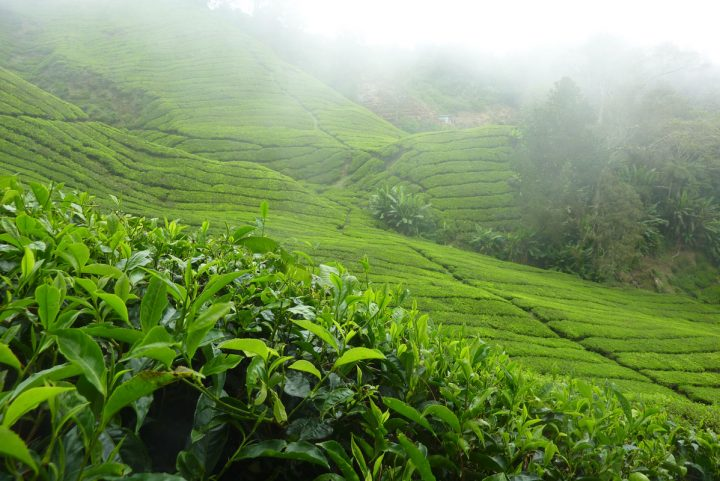 Cameron Highlands (Cool off & Drink Tea!)