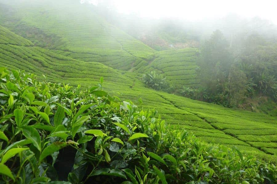 Tea plantations in the mist on the Cameron Islands, Peninsular Malaysia