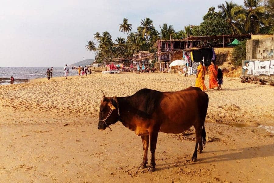 A cow on the beach in Goa