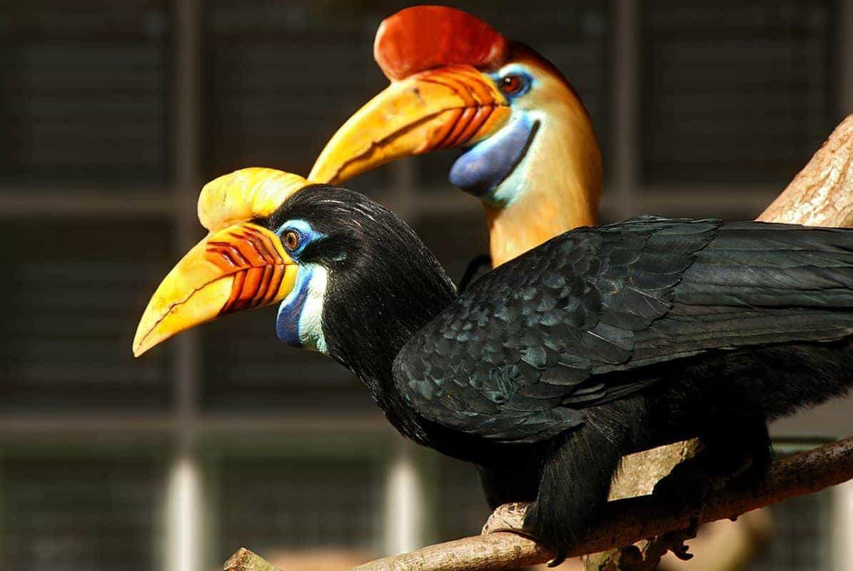 A pair of colorful toucans. Aren't they beautiful? Sarawak