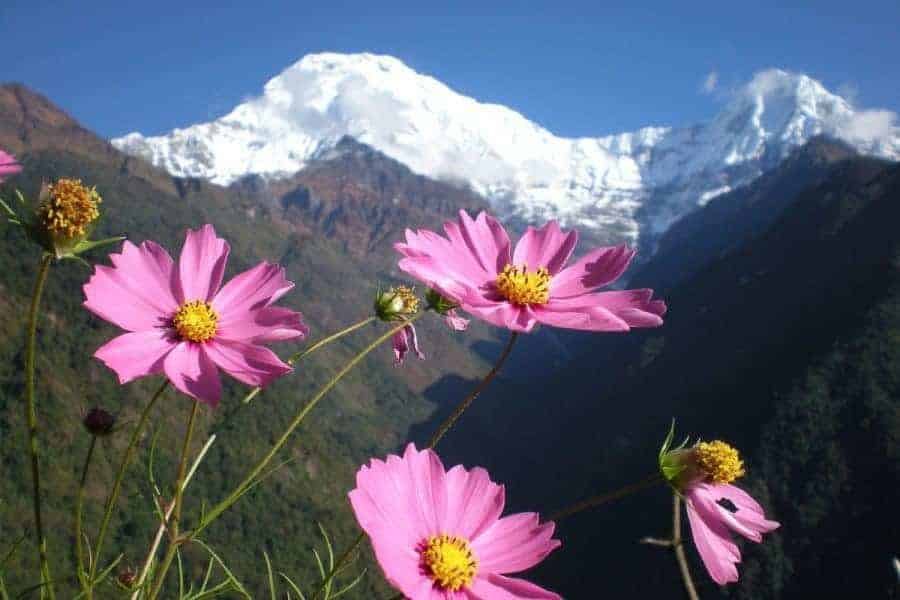 Nepal flowers with snowey mountain in the background
