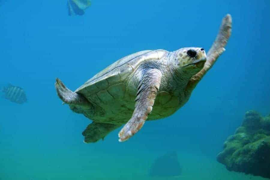 Turtle Pulau Weh