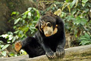 Bear in Sabah