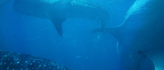 Oslob (Snorkel with Whale Sharks)