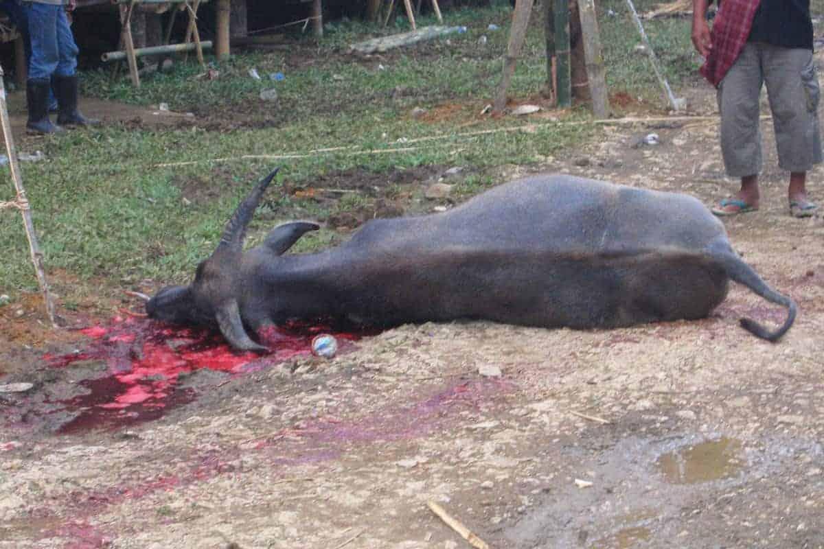 Buffalo-Sulawesi-Indonesia