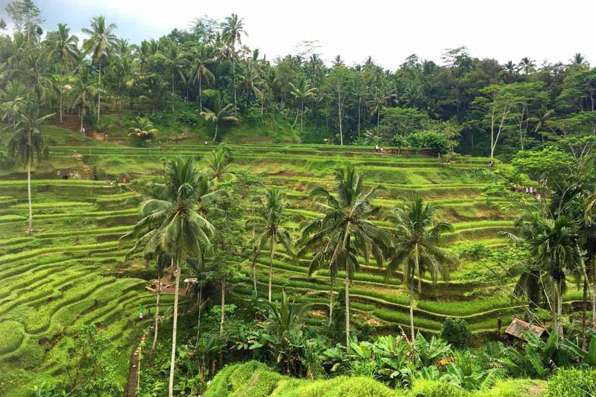 Ubud, Bali Rice fields