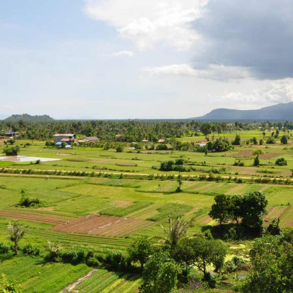 Kampot pepper plantations