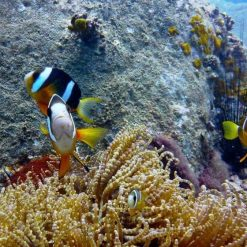 Clown fish in Nha Trang, Vietnam.