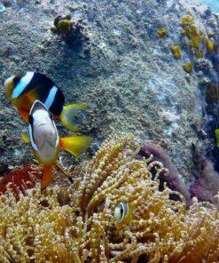 Clown fish in Nha Trang, Vietnam.