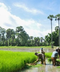 Rice farming Siem Reap Bike Tours