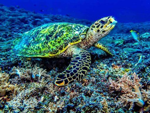 Turtle in the waters of Gili Trawangan, Indonesia.