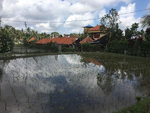 View of the rice fields in Ubud.