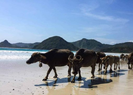 Buffalos on the beach, Indonesia