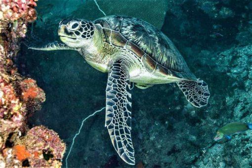 Turtle - Koh Tao Marine-Life.