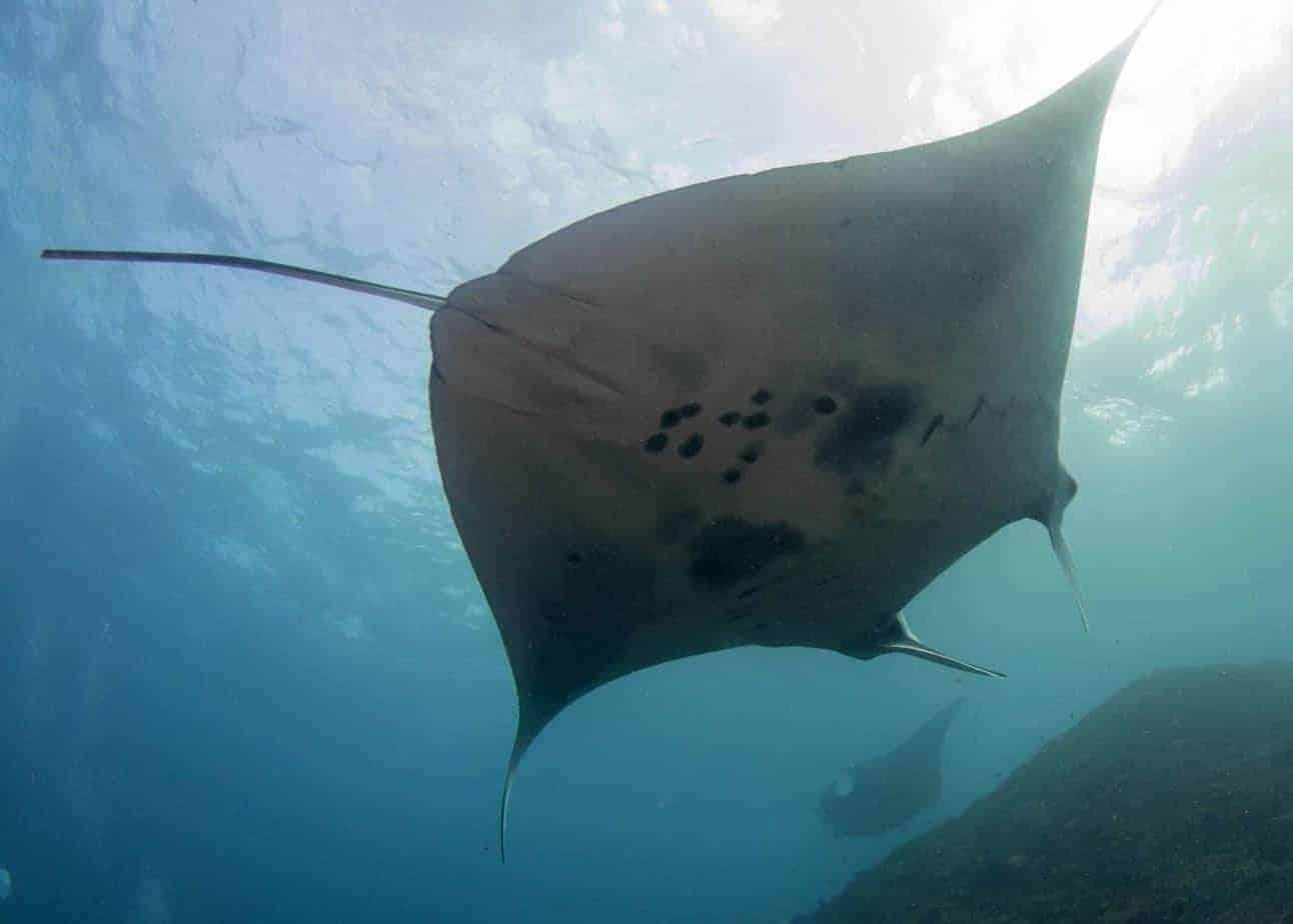 A Manta Ray - Diving with AquaMarine Bali