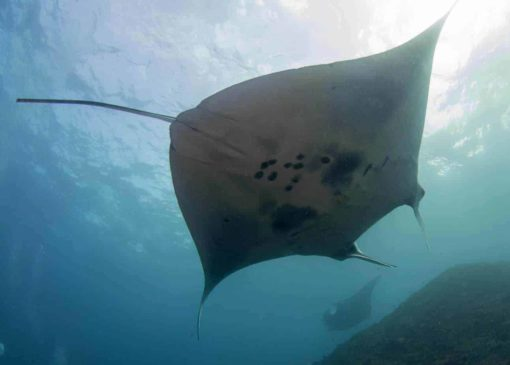 A Manta Ray - Diving with AquaMarine Bali