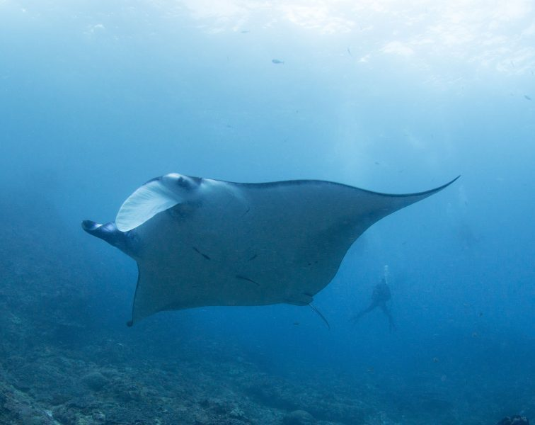 A huge Manta Ray - Diving with AquaMarine Bali