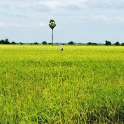 Rice fields of Battambang, Cambodia