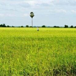 Rice fields of Battambang, Cambodia