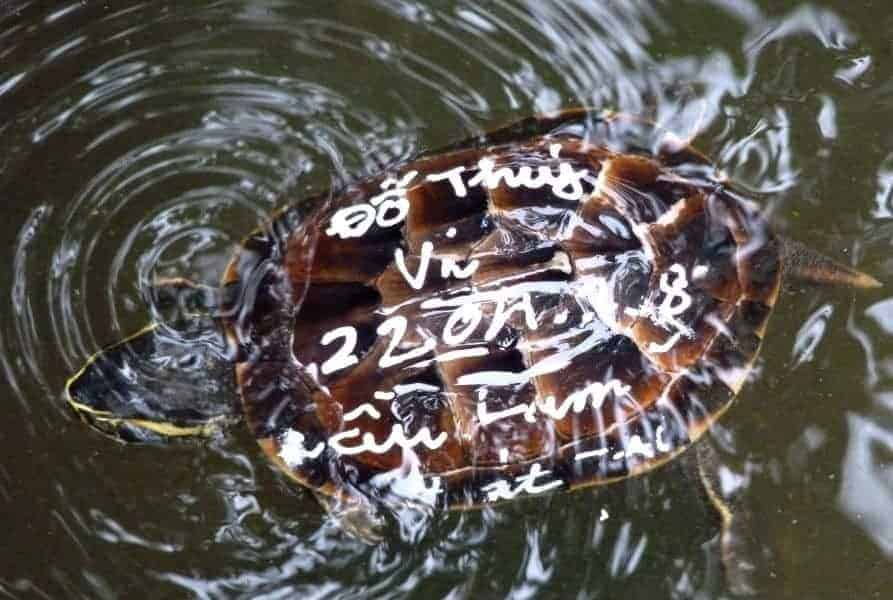 Turtle being released for Buddhist Karma